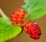 Mulberry compound aids weight loss by activating brown fat
