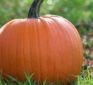 Pumpkin for a strong heart if you're obese