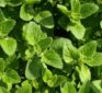 "Oregano essential oil kills antibiotic resistant superbugs ""without any side effects"" urges scientist"