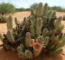 Hoodia Gordonii to Suppress Appetite – Hype or Help?
